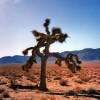 The Actual U2 Joshua Tree Died In 2000